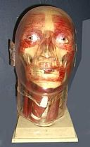 Anatomical model of human head 20th c.