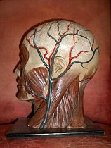 Rubber model of facial nerves and muscles
