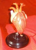 Model Heart on Stand