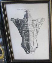 Anatomy Print framed c1880.