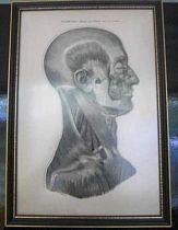 Anatomy Print framed c 1880.
