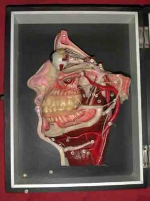 Wax anatomical model of the head.