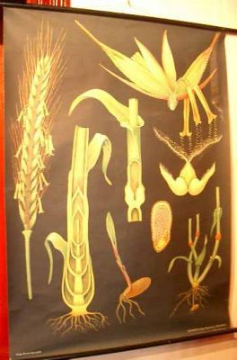 Botanical chart of corn